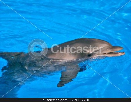 Bottle Nosed Dolphin stock photo, A single dolphin swimming in crystal clear water by Kevin Tietz