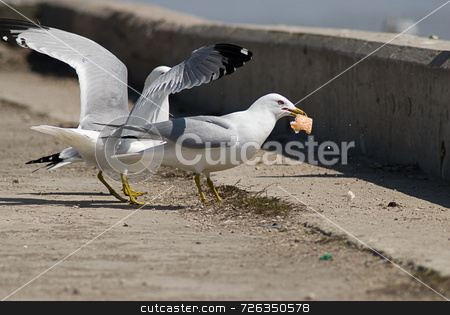 Bird Lunch Time stock photo, An adult seagull eating his lunch with another bird bugging him by Richard Nelson