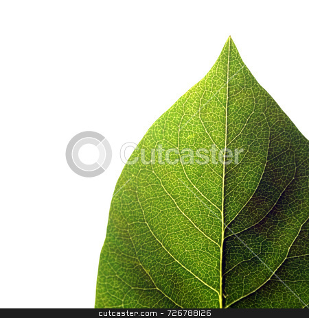 Isolated green leaf stock photo, Close-up of isolated green leaf on white background by Ronald Hudson