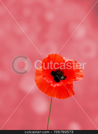 Poppy field stock photo, Single red poppy over blurred and toned poppy field by Ronald Hudson