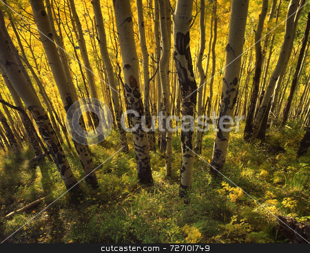 Yellow Forest stock photo, A stand of aspen trees photographed during the autumn season. by Mike Norton
