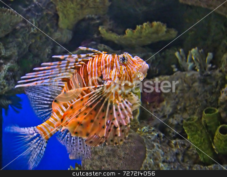 Lion Fish stock photo, A picture of the deadly and rare Lion Fish by Kevin Tietz