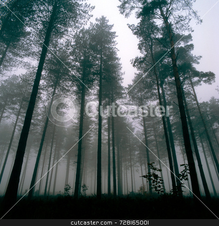Trees Thetford Forest stock photo, Forest at Thetford, UK, Wintertime by Paul Phillips
