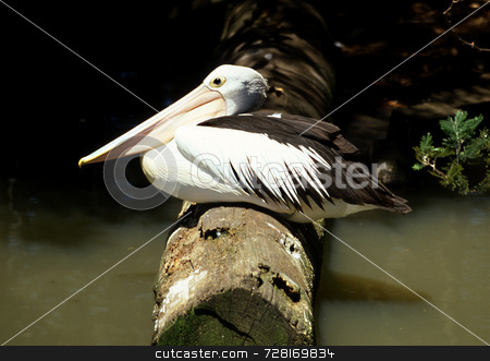 The Bill stock photo, Australian Pelican sitting on a log by a river by Paul Phillips