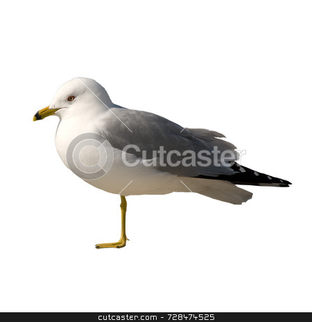 Isolated Seagull stock photo, An injured seagull isolated against a white background by Richard Nelson