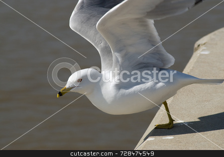 Seagull Jumping Off A Ledge stock photo, An adult seagull jumping off a ledge in preparation of flight by Richard Nelson