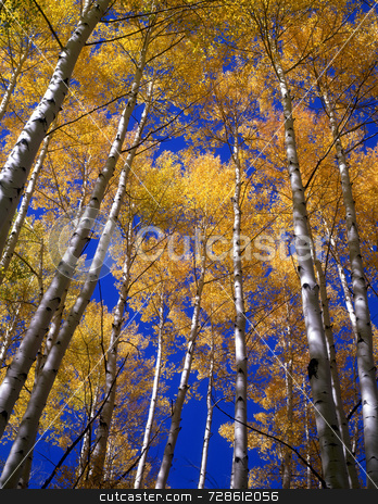 Yellow Leaves Blue Sky stock photo, Yellow aspen leaves aginst a blue sky in the Gunnison National Forest of Colorado. by Mike Norton