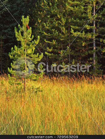 Small Pine Tree stock photo, A small pine tree in Glacier National Park, Montana. by Mike Norton