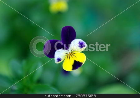 Johnny-Jump-Up in shallow DOF stock photo, A purple, yellow and white Johnny-Jump-Up flower in a green background, room for copy. by Lynn Bendickson