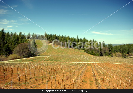 Wine vineyard stock photo, A new Vineyard at early spring in the El Dorado Country foothills by Lynn Bendickson