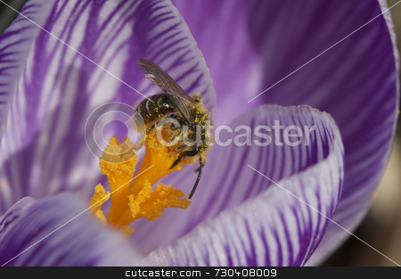 Pollen covered bee stock photo, Pollen covered bee on crocus by Jarrod Erbe