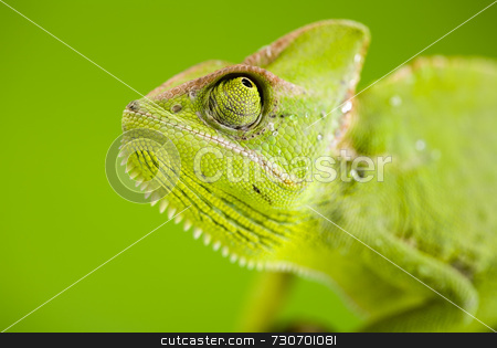 Green chameleon stock photo,  by Sebastian Duda