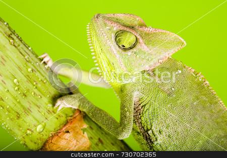 Green chameleon stock photo,  by Sebastian Duda