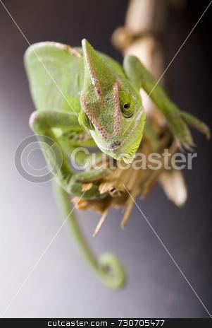 Chameleon stock photo,  by Sebastian Duda
