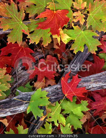 Red & Green Leaves stock photo, Red and green canyon maple leaves in Logan Canyon, Utah, photographed during the autumn season. by Mike Norton