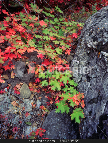 Canyon Maple Leaves & Rock stock photo, The leaves of a canyon maple tree in Logan Canyon, Utah, photographed during the autumn season. by Mike Norton