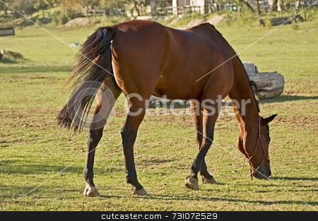 Brown horse stock photo, Brown horse eats grass by Massimiliano Leban