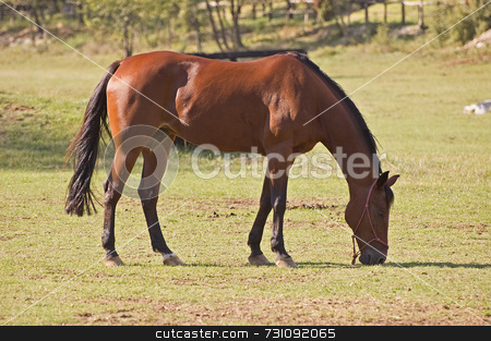 Brown horse stock photo, Quiet horse eats grass by Massimiliano Leban