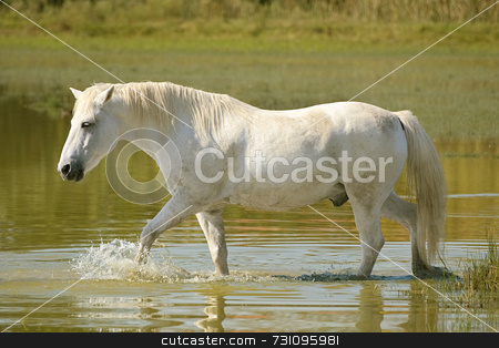 White horse stock photo, White horse crosses a pond by Massimiliano Leban