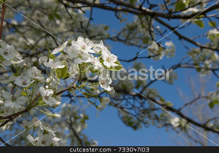 Spring Blossoms stock photo, Clusters of white spring blossoms on young tree branches against blue sky. Nice background blur. by ngirl