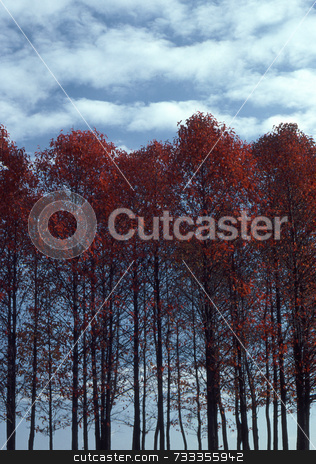 Red-leaved Sourwood Trees stock photo, Sourwood trees with red leaves in autumn. by Kathy Piper