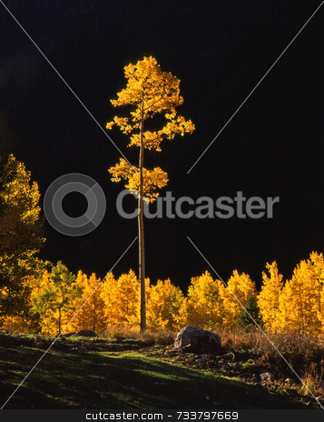Tall Aspen stock photo, A tall aspen tree in the White River National Forest, Colorado. by Mike Norton