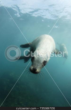Playful California Sea Lion stock photo, Playful California Sea lion by A Cotton Photo