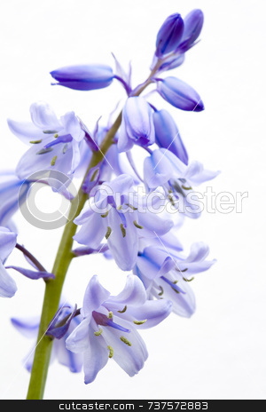 Bluebell stock photo, Bluebell (Spanish & Common hybrid) Hyacinthoides sp. by Jon Stokes