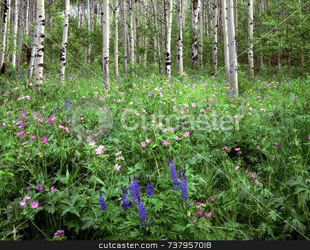 Flowers & Aspens stock photo, Wild flowers growing in an aspen forest. by Mike Norton