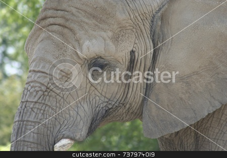African Elephant  stock photo,  by Wes Shepherd