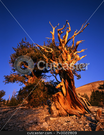 Bristlecone Pine stock photo, Bristlecone Pine trees located in the Patriarch Grove section of the Inyo National Forest, California. by Mike Norton