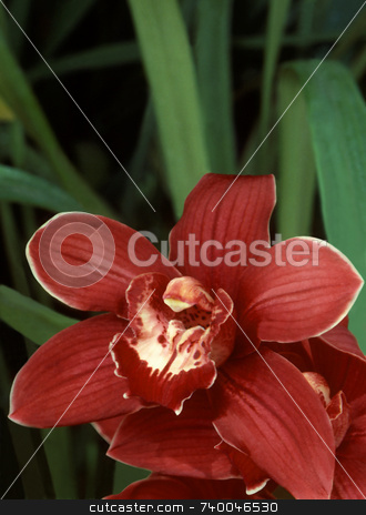 Red Cymbidium Orchid stock photo, Cymbidium orchid with red flowers. by Kathy Piper