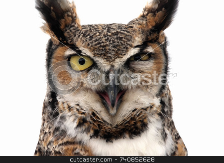Winking eagle owl stock photo, Eagle Owl looking threatening. Isolated on white. by Paul Phillips