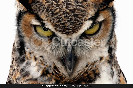 Eagle Owl stock photo, Eagle Owl staring at the camera in a threatening manner. Isolated on white by Paul Phillips