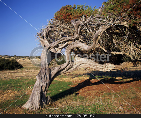Bend stock photo, Old tree in Cyprus adapting to the costal wind by Paul Phillips