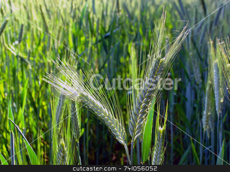 Two barley ears in field stock photo, Late summer in a barley field with focus on two of the barley ears by Paul Phillips