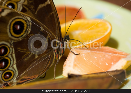 Blue morpho Butterfly stock photo, A macro shot of a utterfly feeding on citrus fruit by Jean Larue-Frechette