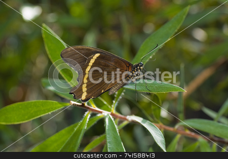 Common mormon butterfly stock photo, A Common mormon butterfly on a leaf by Jean Larue-Frechette