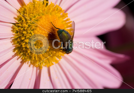Macro fly stock photo, A macro shot of a fly on a flower by Jean Larue-Frechette
