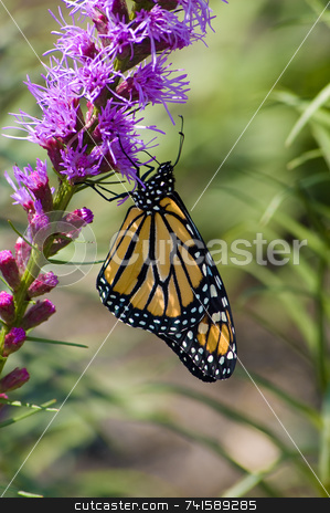 Yellow monarch butterfly stock photo, A Monarch Butterfly feeding on a flower by Jean Larue-Frechette