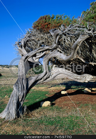 Bend stock photo, An old bent tree on the coast of southern Cyprus by Paul Phillips