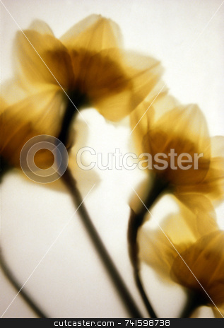 Spring stock photo, Daffodils photographed behind art paper by Paul Phillips