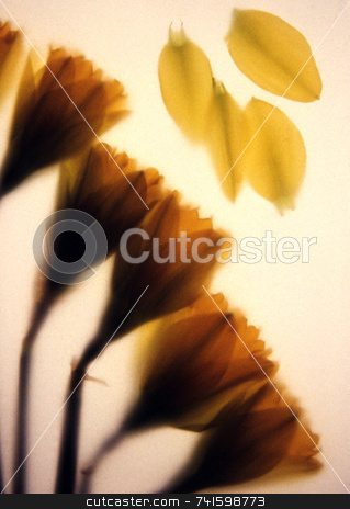 Soft Daffodils stock photo, Daffodils photographed behind art paper by Paul Phillips