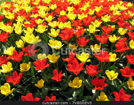 Tulip field stock photo, Red and yellow tulips in a field by Paul Phillips
