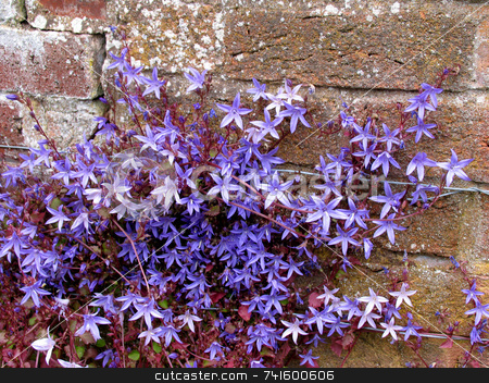 Blue Star stock photo, Blue star shaped flowering plant growing up an old wall by Paul Phillips