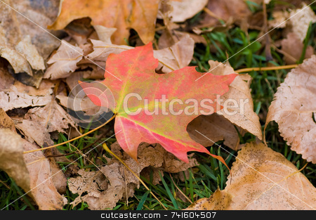 Autumn maple leaf stock photo, A colorful maple leaf on the on the ground. by Jean Larue-Frechette