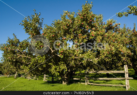 Apple tree stock photo, Apple trees in an orchard, with cedar fence. by Jean Larue-Frechette