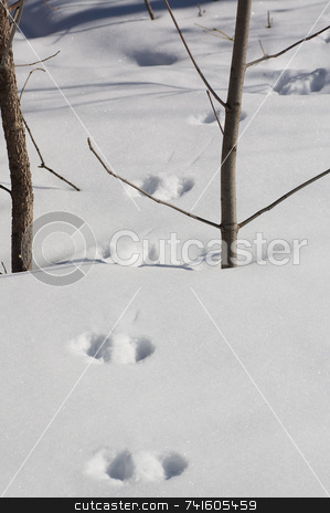 Hare footprint stock photo, Hare footprint in the snow, shot in montreal, canada. by Jean Larue-Frechette