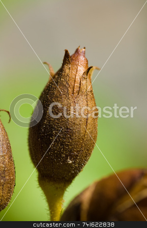Flower bud stock photo, Close-up shot of a flower bud in a garden by Jean Larue-Frechette