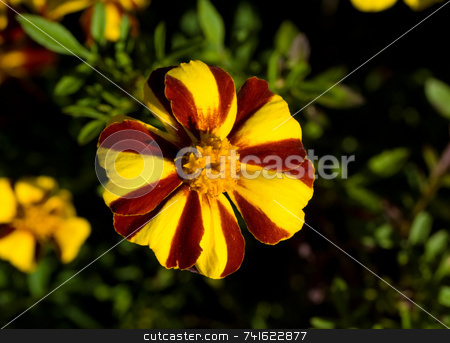 Yellow red flower stock photo, Close-up shot of a yellow and red flower in a garden by Jean Larue-Frechette